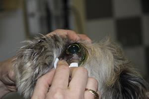 Ophtalmologie à la clinique vétérinaire akkolytes St André de Cubzac