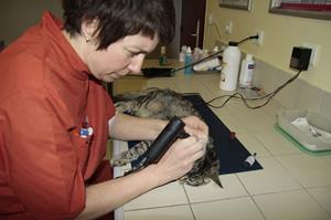 Identification du chat à la clinique vétérinaire akkolytes St André de Cubzac