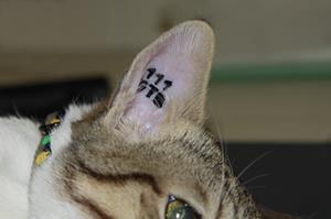Chat tatoué à la clinique vétérinaire akkolytes St André de Cubzac