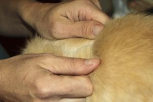 Appliquer une pipette, clinique vétérinaire akkolytes St André de Cubzac