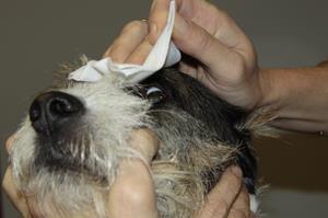 Soin de l'œil du chien, clinique vétérinaire akkolytes St André de Cubzac